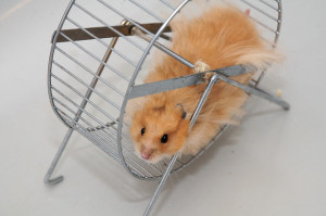 hamster in a metal hamster wheel