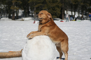golden retriever makes a snowman