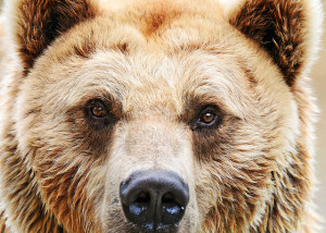 close face photo of a brown bear